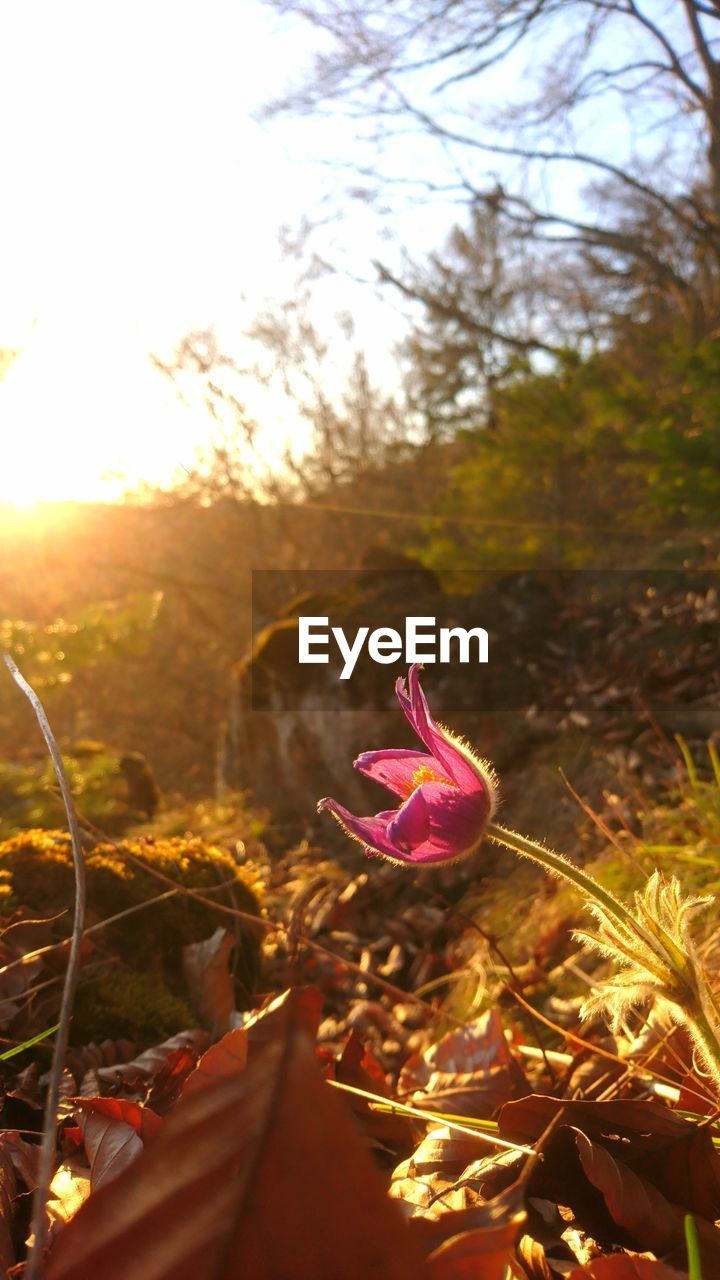 plant, nature, beauty in nature, growth, sky, flower, flowering plant, no people, land, close-up, sunlight, field, leaf, plant part, day, focus on foreground, freshness, selective focus, tranquility, outdoors, lens flare, flower head, leaves