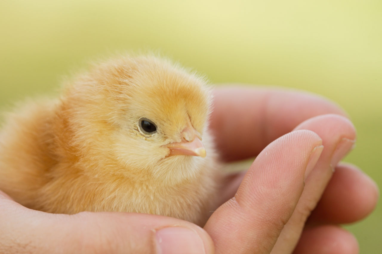 animal themes, young animal, animal, human hand, young bird, hand, human body part, vertebrate, bird, domestic, pets, close-up, one animal, domestic animals, body part, one person, real people, holding, animal wildlife, mammal, finger, human limb