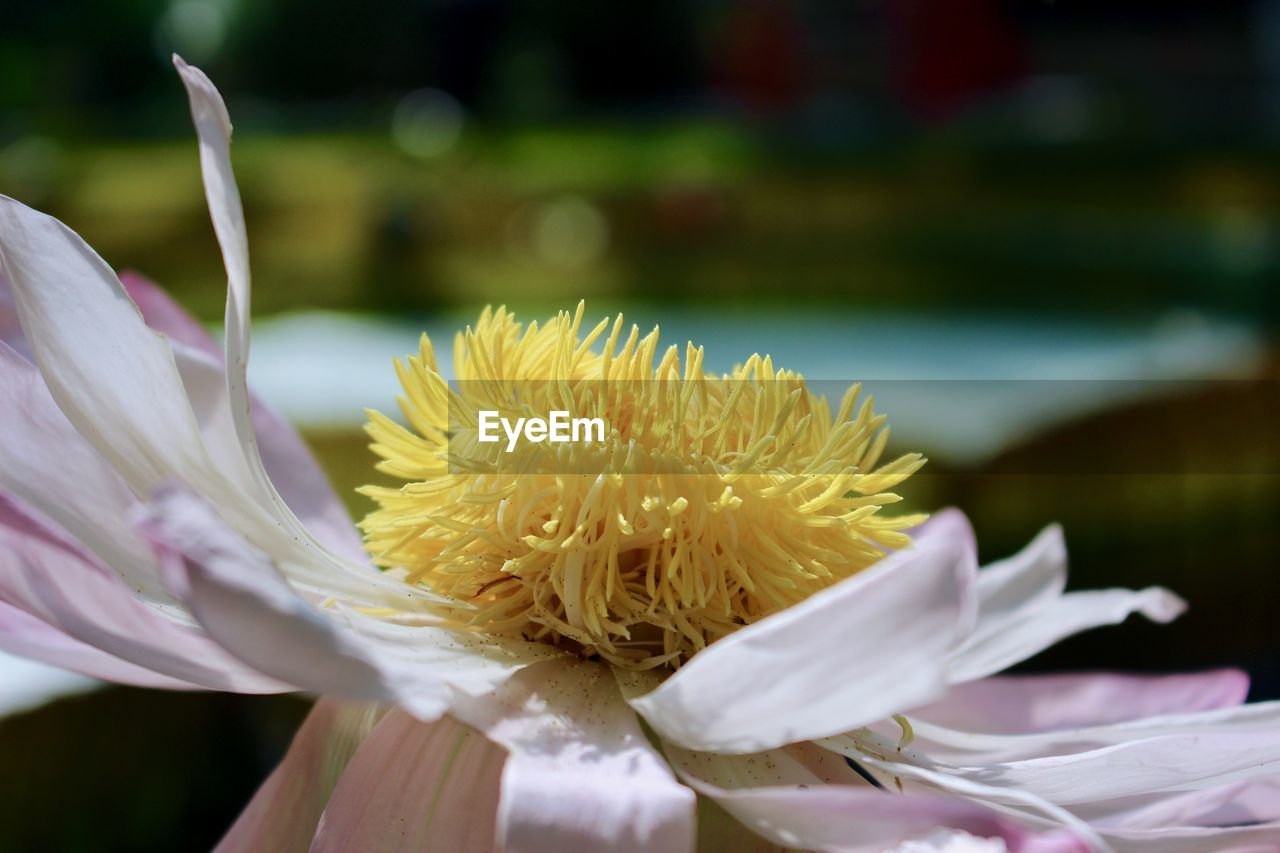 flower, flowering plant, freshness, vulnerability, fragility, plant, beauty in nature, petal, close-up, flower head, inflorescence, growth, focus on foreground, nature, day, no people, botany, pollen, selective focus, softness