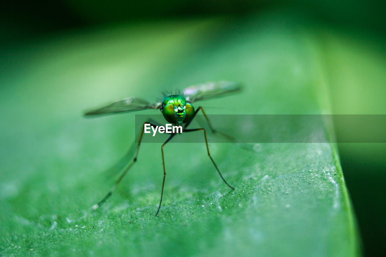 invertebrate, insect, one animal, animal themes, animal wildlife, animal, animals in the wild, green color, selective focus, close-up, plant part, leaf, nature, no people, day, animal wing, plant, fly, zoology, animal body part