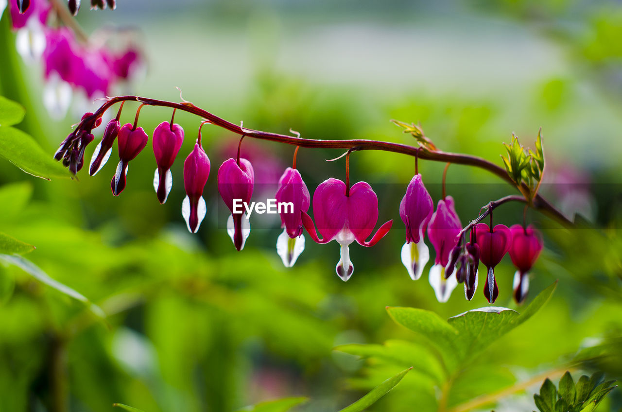 Bleeding Heart Flowers Hanging From Branch