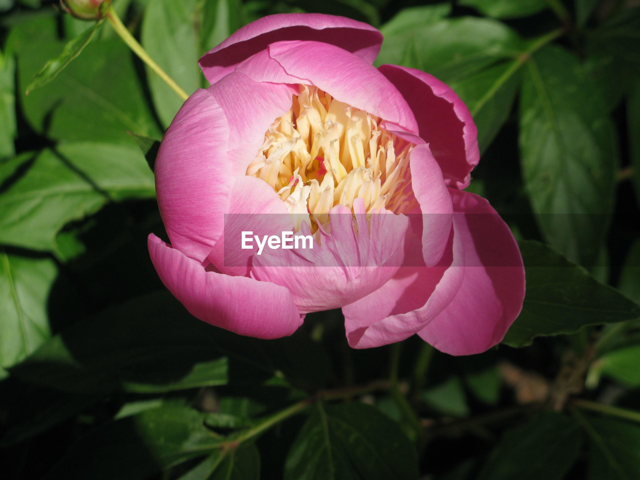 CLOSE-UP OF PINK LOTUS FLOWER