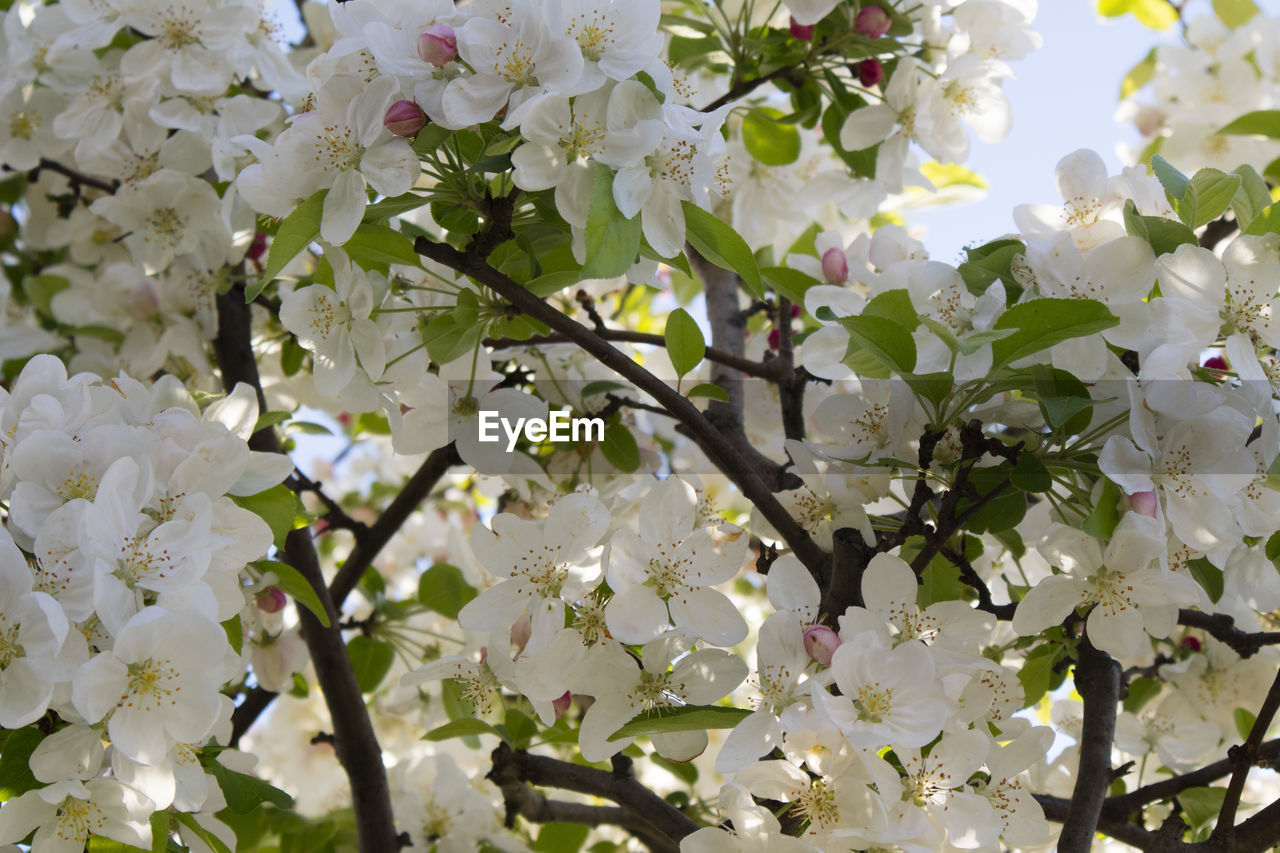 flowering plant, flower, plant, beauty in nature, fragility, vulnerability, growth, freshness, tree, white color, close-up, blossom, no people, springtime, branch, nature, day, petal, full frame, backgrounds, outdoors, flower head, spring, cherry blossom, cherry tree