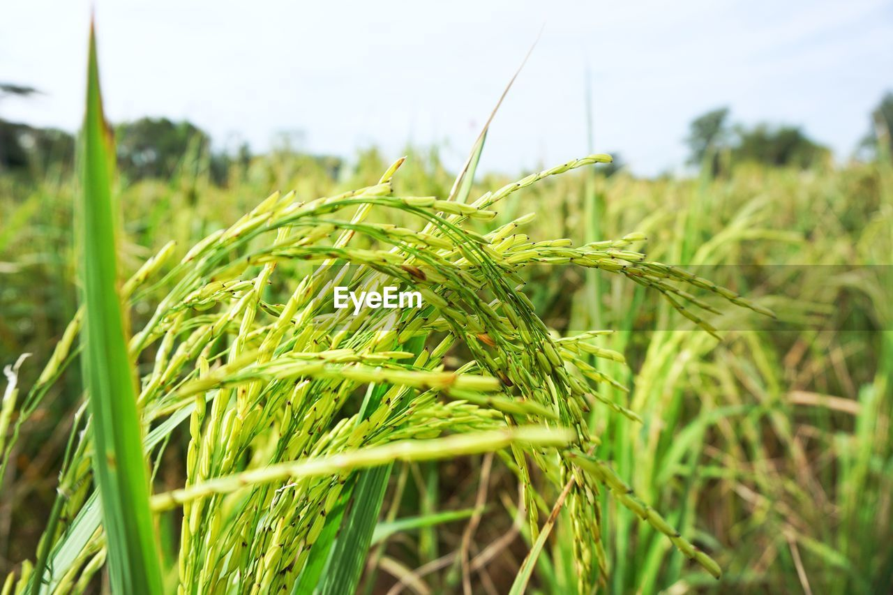 plant, growth, field, green color, agriculture, rural scene, landscape, land, crop, farm, nature, cereal plant, focus on foreground, close-up, beauty in nature, day, sky, tranquility, wheat, no people, outdoors, blade of grass, plantation