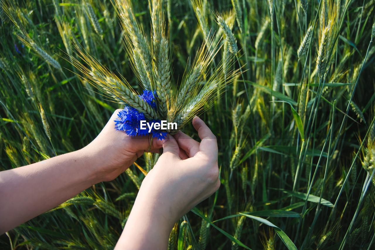 Cropped Hands Holding Wheat And Blue Flower On Field