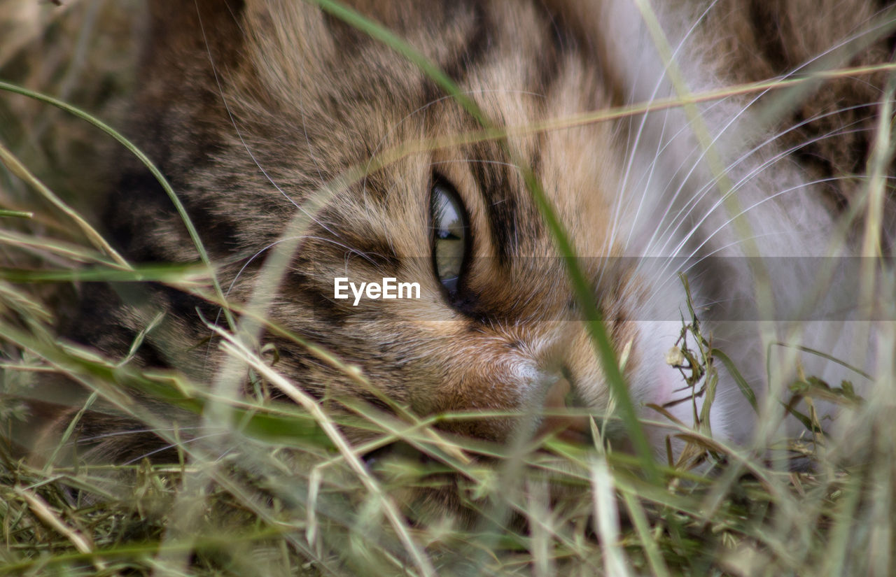 animal, one animal, animal themes, mammal, domestic, pets, cat, domestic animals, feline, vertebrate, plant, selective focus, domestic cat, animal body part, grass, no people, close-up, animal head, nature, whisker, animal eye, snout