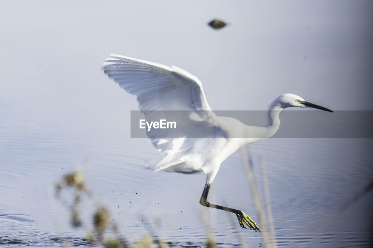animal themes, animal, animals in the wild, animal wildlife, bird, flying, vertebrate, spread wings, water, one animal, egret, no people, lake, mid-air, day, white color, waterfront, nature, great egret, seagull