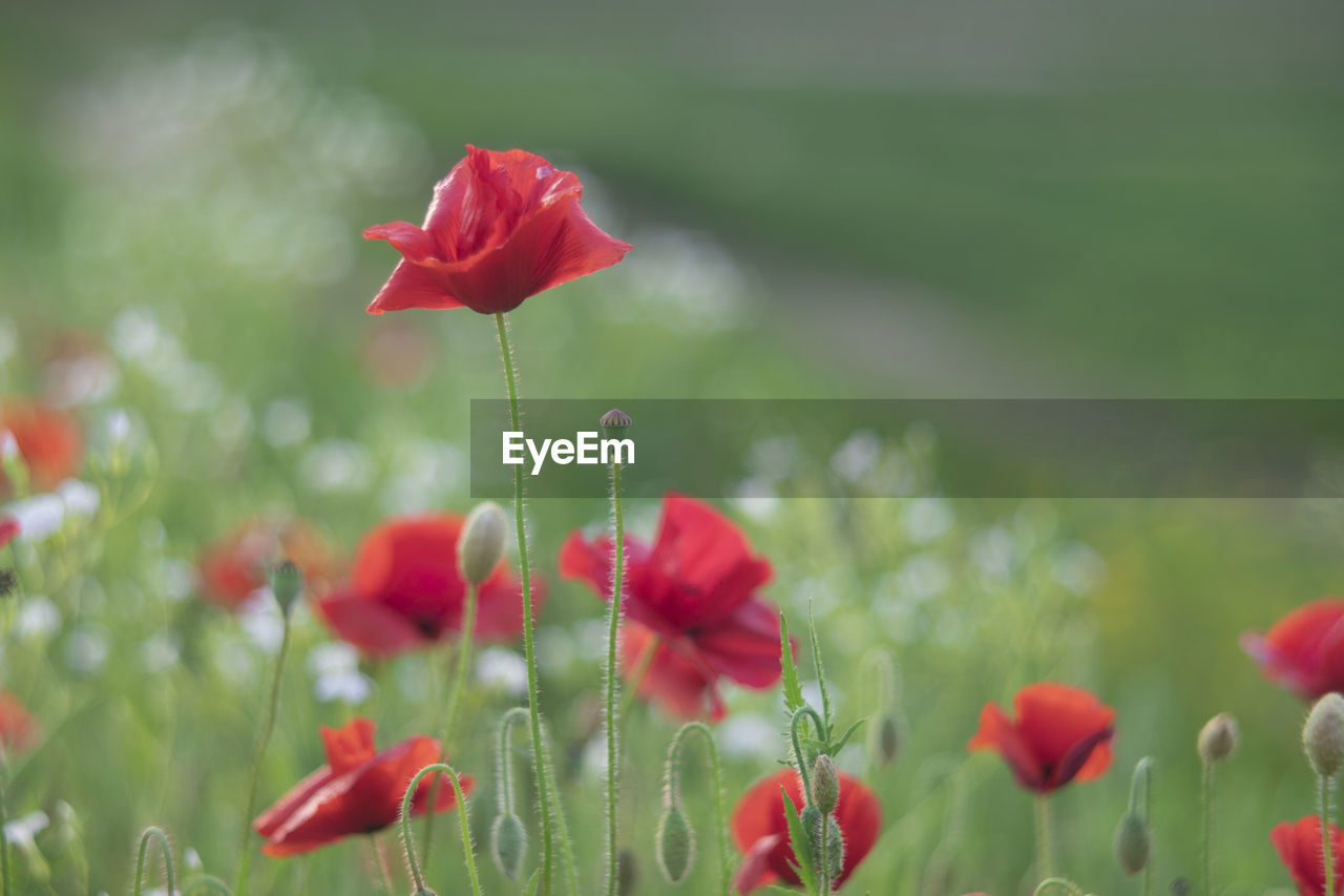 flowering plant, flower, plant, beauty in nature, fragility, growth, vulnerability, freshness, red, petal, close-up, inflorescence, flower head, focus on foreground, land, poppy, nature, field, selective focus, plant stem, no people, outdoors
