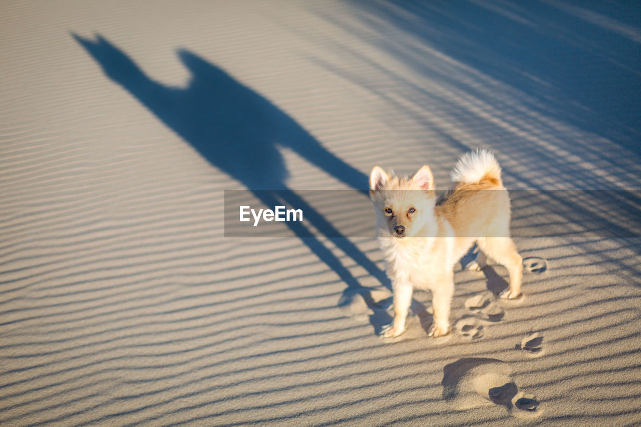 High Angle Portrait Of Pomeranian Standing At Beach