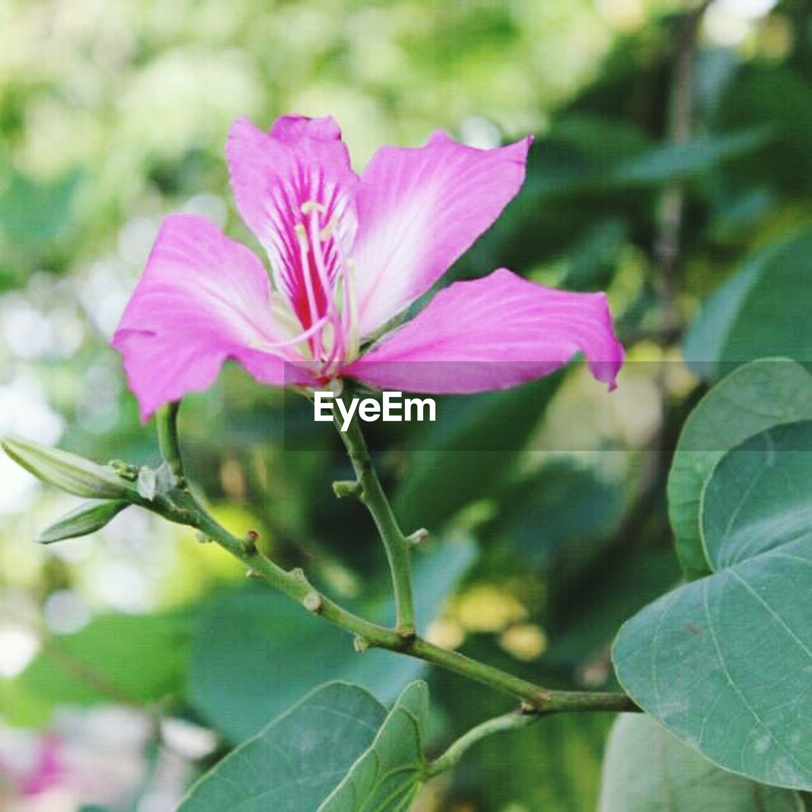 flower, freshness, petal, fragility, flower head, pink color, growth, beauty in nature, close-up, leaf, focus on foreground, nature, blooming, single flower, plant, stem, in bloom, blossom, pink, stamen