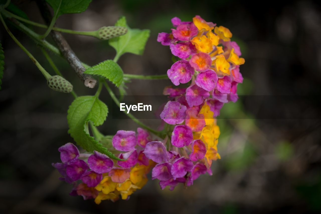 flower, growth, fragility, nature, beauty in nature, freshness, plant, petal, outdoors, no people, day, pink color, lantana camara, blooming, close-up, flower head