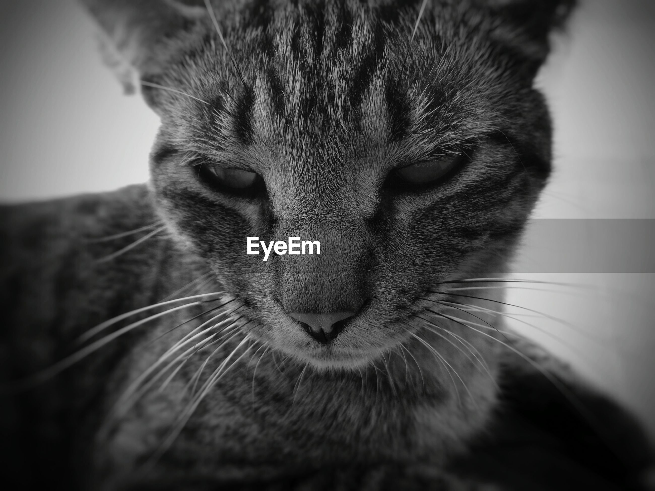 one animal, animal themes, mammal, domestic animals, animal head, close-up, pets, whisker, animal body part, domestic cat, feline, portrait, cat, looking at camera, animal eye, focus on foreground, snout, front view, alertness