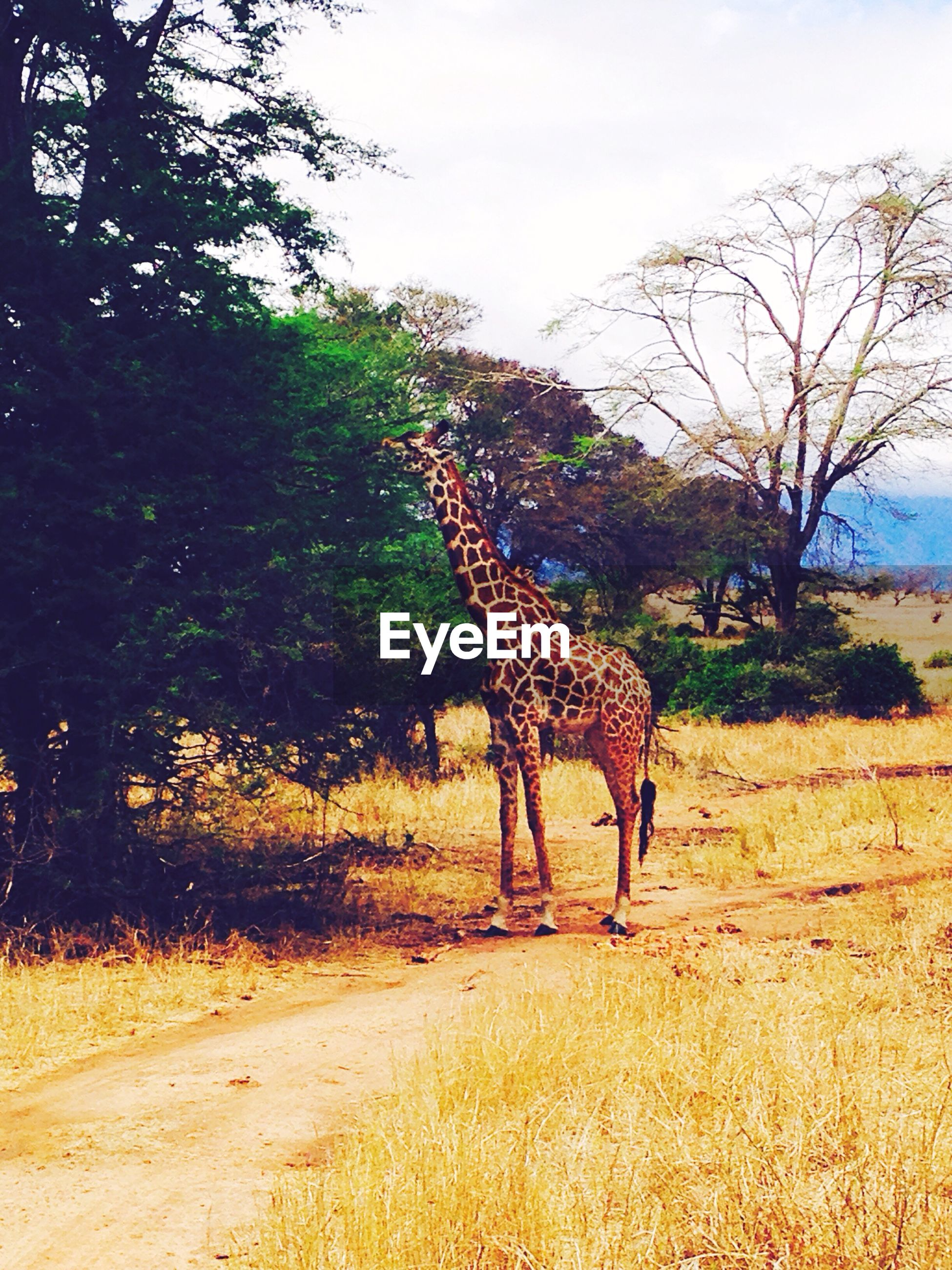 animal themes, one animal, animals in the wild, tree, wildlife, full length, mammal, sky, standing, field, side view, herbivorous, nature, giraffe, sunlight, safari animals, landscape, walking, outdoors, day