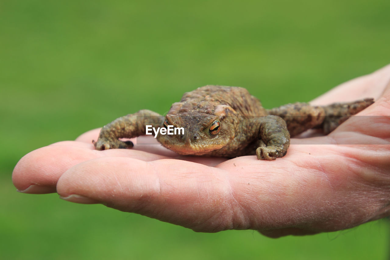 human hand, hand, one animal, animal wildlife, human body part, animals in the wild, vertebrate, real people, holding, one person, focus on foreground, unrecognizable person, finger, reptile, human finger, body part, close-up, amphibian, outdoors, care