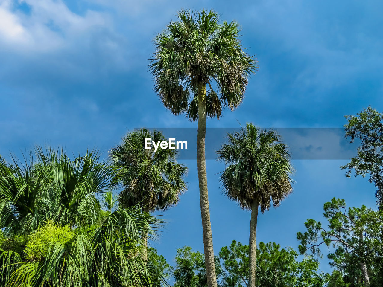 plant, sky, tree, growth, cloud - sky, low angle view, beauty in nature, tropical climate, palm tree, nature, green color, no people, day, tranquility, outdoors, scenics - nature, trunk, tree trunk, tall - high, tranquil scene, coconut palm tree, tropical tree, palm leaf