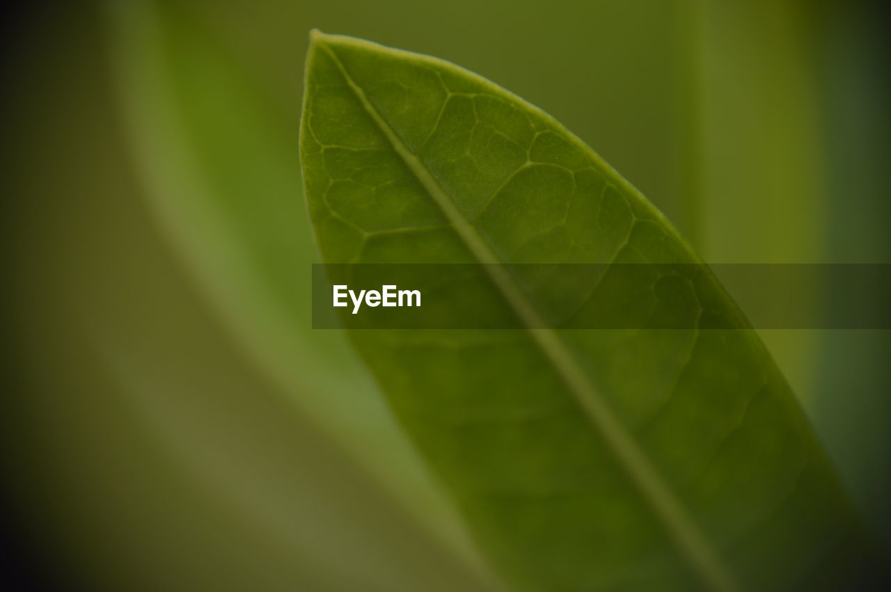 leaf, plant part, green color, close-up, nature, leaf vein, plant, no people, beauty in nature, day, outdoors, selective focus, growth, focus on foreground, leaves, vulnerability, freshness, fragility, banana leaf, extreme close-up