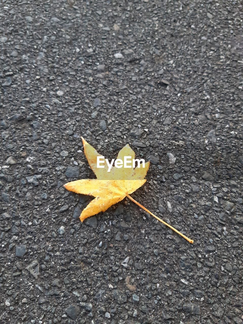 nature, leaf, plant part, road, close-up, no people, day, change, high angle view, autumn, directly above, star shape, falling, maple leaf, outdoors, textured, asphalt, yellow, dry, shape, starfish, natural condition