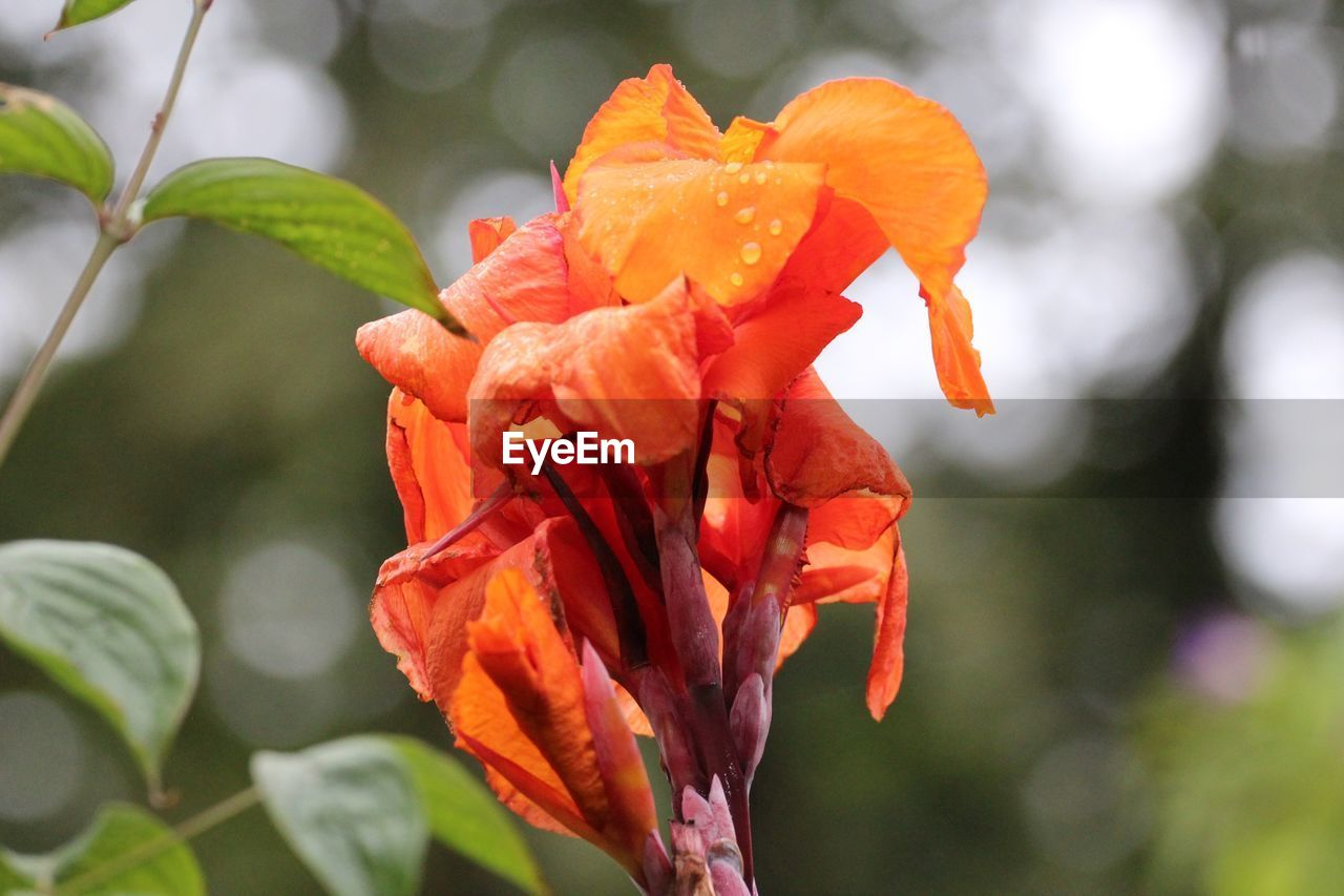 flowering plant, flower, beauty in nature, plant, petal, vulnerability, fragility, inflorescence, flower head, growth, close-up, focus on foreground, orange color, freshness, red, nature, no people, day, botany, plant part, outdoors, pollen, orange