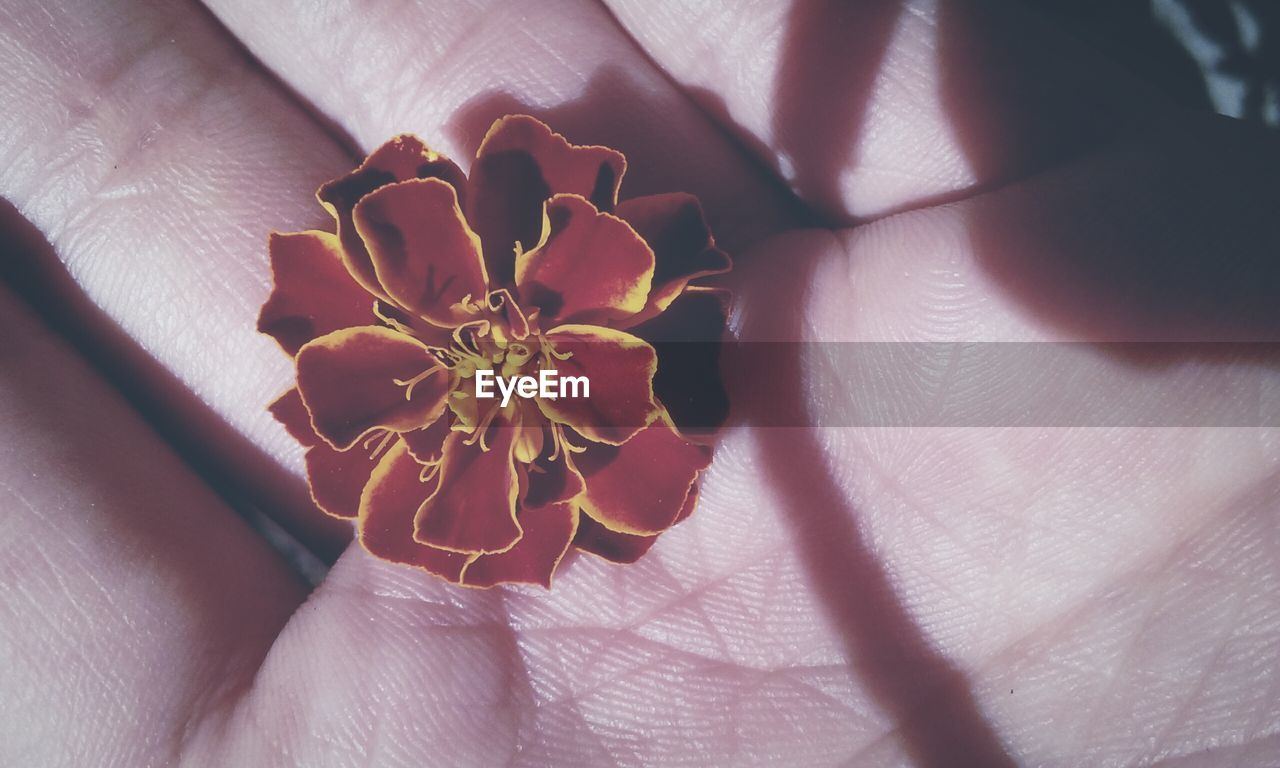human hand, human body part, real people, human finger, one person, unrecognizable person, holding, lifestyles, close-up, indoors, palm, leisure activity, sunlight, women, nature, flower, beauty in nature, day, fingernail, fragility, flower head, people