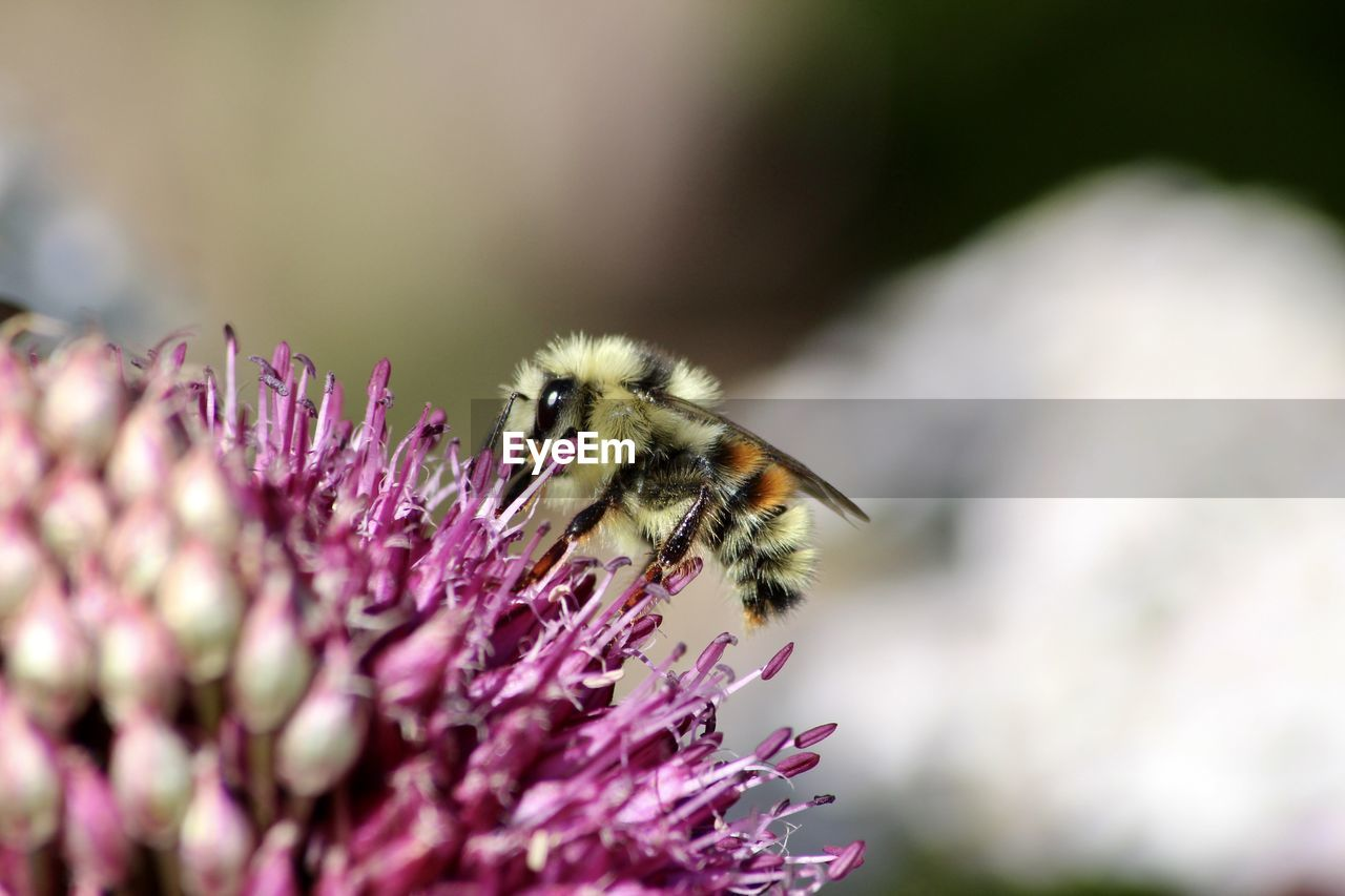 CLOSE-UP OF BEE POLLINATING ON FRESH PURPLE FLOWER