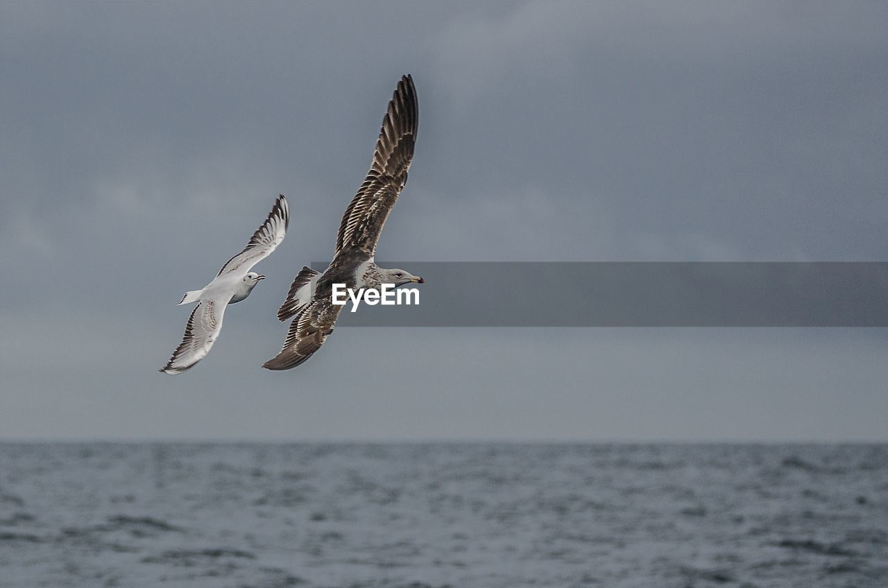 sea, water, sky, horizon, horizon over water, flying, spread wings, animals in the wild, bird, animal wildlife, animal, vertebrate, animal themes, beauty in nature, nature, mid-air, no people, one animal, day, seagull, outdoors