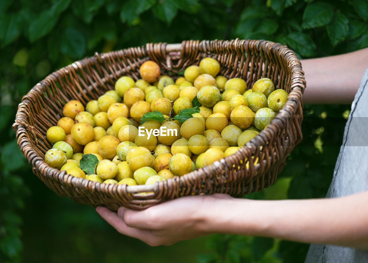 Old wicker basket full of freshly harvested organic mini yellow plums in the girls hands.