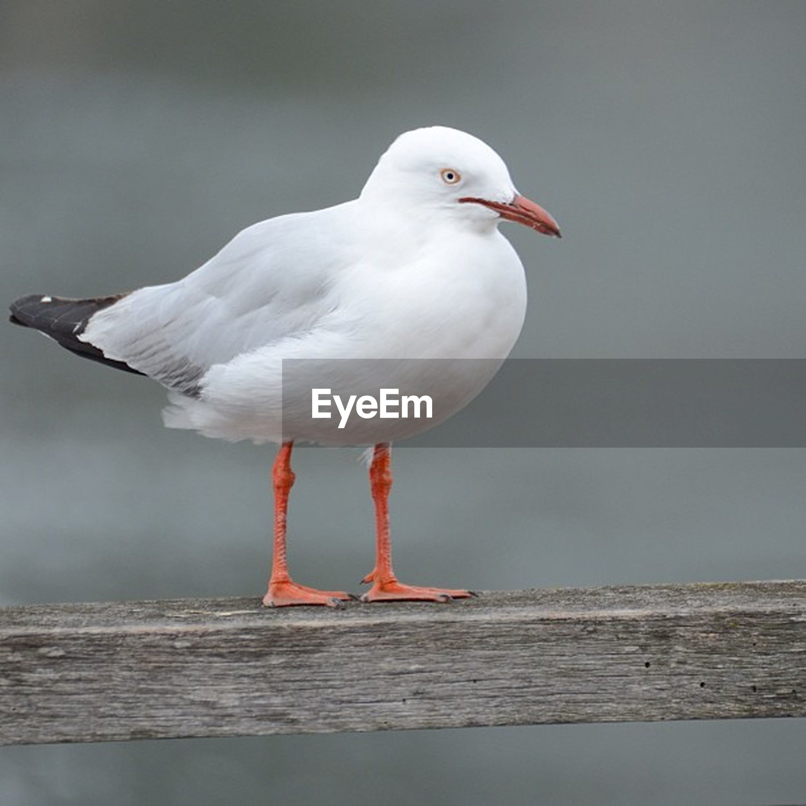 bird, animal themes, seagull, one animal, animals in the wild, wildlife, white color, beak, nature, perching, full length, focus on foreground, day, outdoors, close-up, water, sky, no people, sea bird, side view