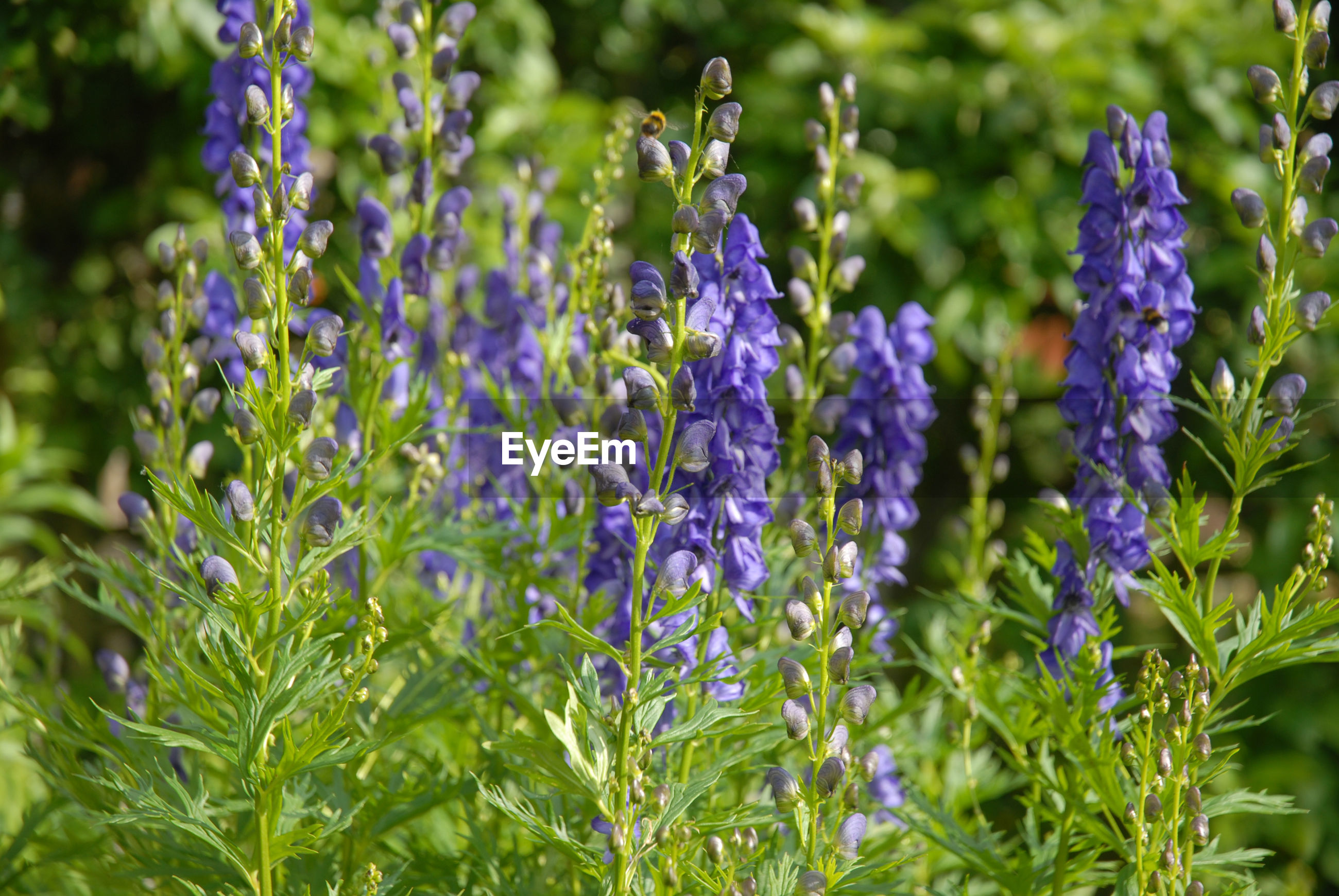 Aconitum napellus, also known as monkshood or wolf's bane, a poisonous perennial herb
