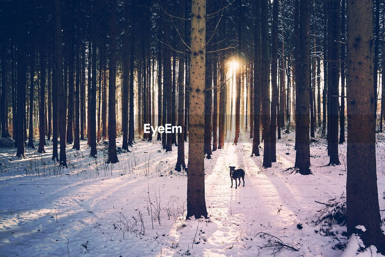 View Of Dog Standing Amongst Snow Covered Trees In Forest