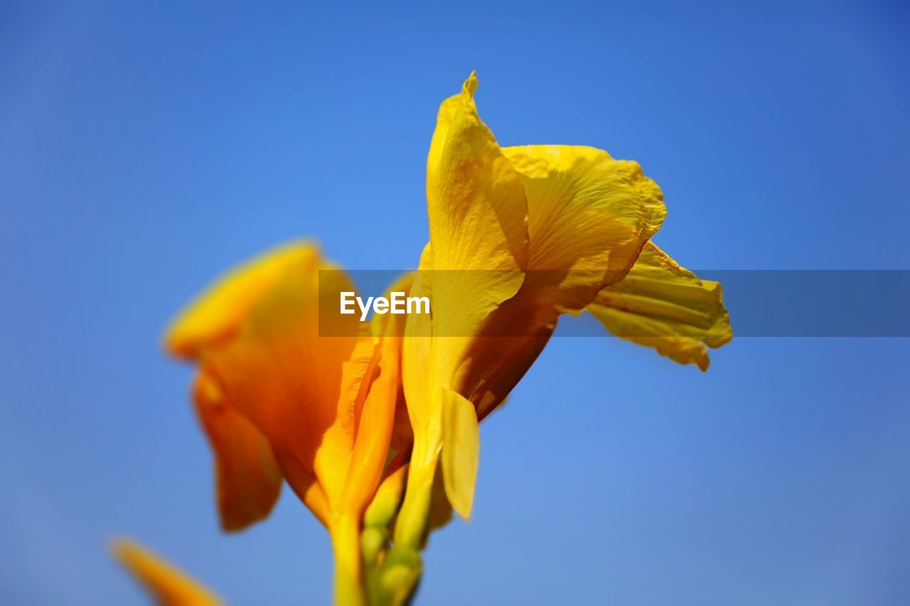 flower, petal, yellow, fragility, freshness, vibrant color, flower head, beauty in nature, blue, growth, nature, no people, plant, springtime, clear sky, close-up, outdoors, day, low angle view, day lily, blooming, iris - plant, sky