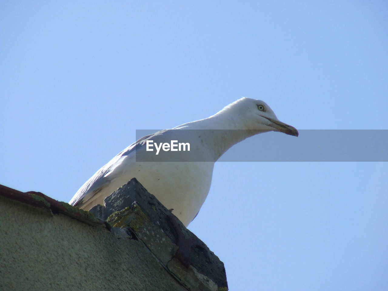 sky, clear sky, low angle view, copy space, blue, no people, bird, nature, one animal, animal wildlife, animal themes, animals in the wild, animal, vertebrate, day, architecture, sunlight, white color, seagull, outdoors, profile view