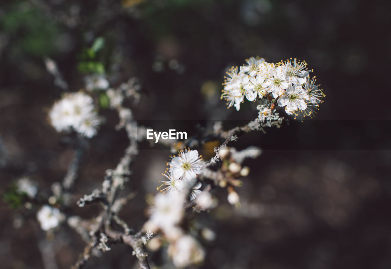 flower, flowering plant, plant, freshness, fragility, growth, vulnerability, beauty in nature, selective focus, close-up, nature, day, no people, flower head, inflorescence, outdoors, petal, sunlight, white color, blossom, springtime, spring