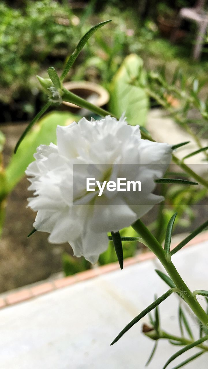 white color, flower, nature, growth, beauty in nature, petal, plant, freshness, no people, day, fragility, close-up, flower head, outdoors, blooming