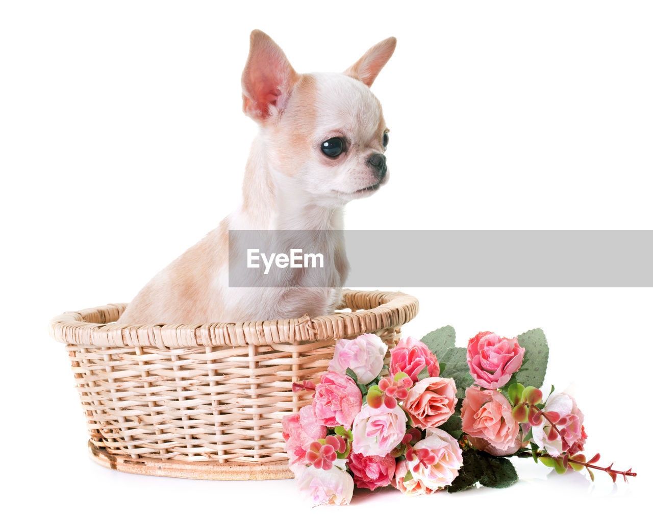 basket, pets, white background, studio shot, flower, domestic animals, no people, one animal, mammal, animal themes, pink color, freshness, day