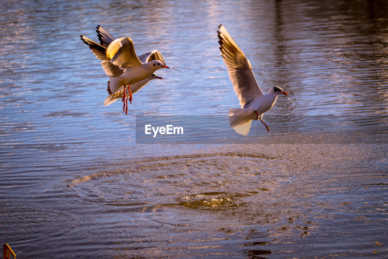 animal, animal themes, vertebrate, bird, animal wildlife, water, flying, animals in the wild, group of animals, spread wings, lake, no people, nature, two animals, waterfront, day, motion, mid-air, seagull, outdoors, flapping