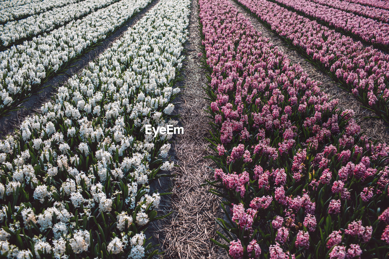 growth, flower, flowering plant, plant, beauty in nature, field, land, agriculture, freshness, nature, vulnerability, fragility, purple, landscape, no people, day, rural scene, tranquility, tranquil scene, environment, springtime, outdoors, flowerbed