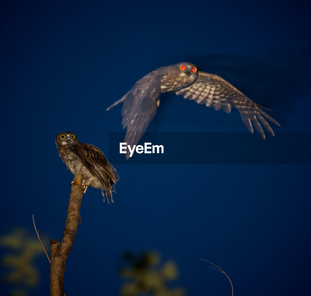 Hawk Owls Against Clear Sky At Night