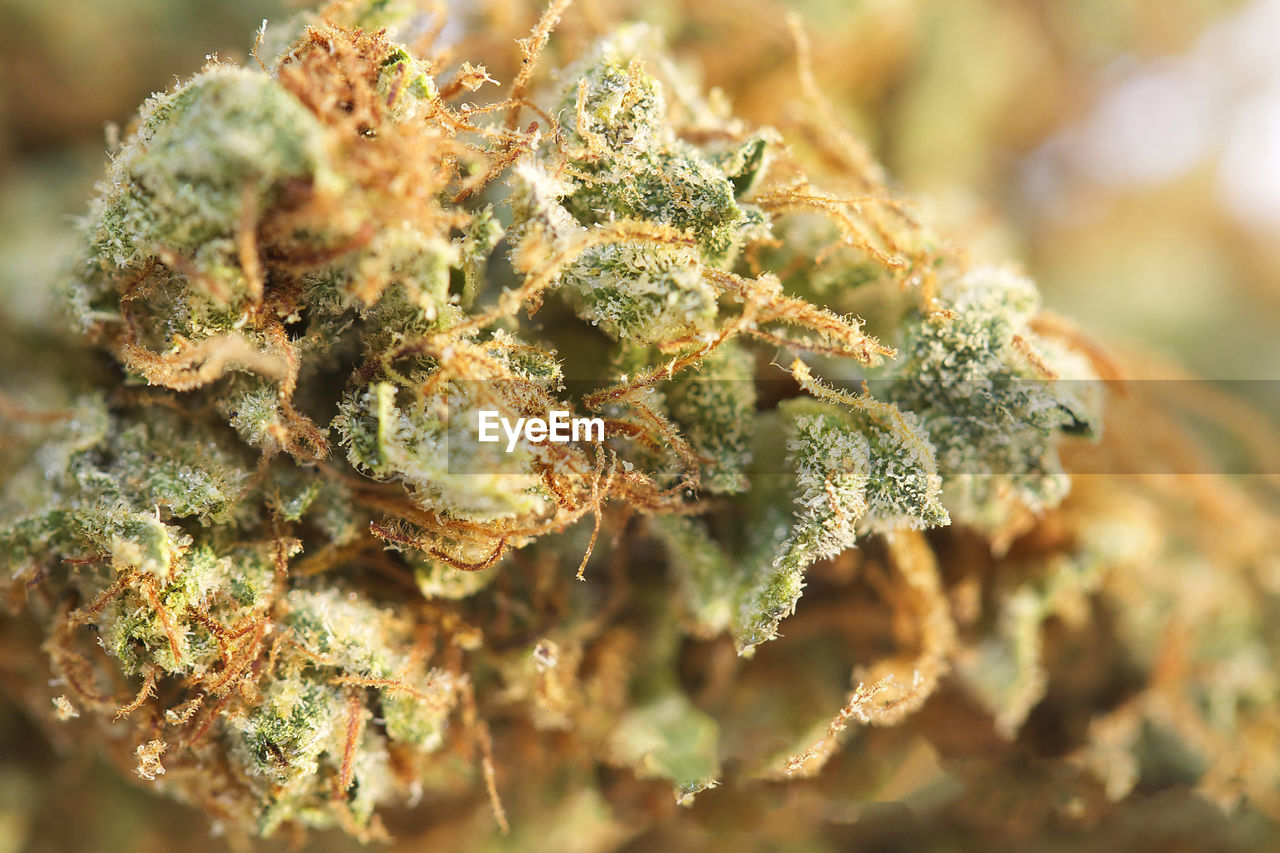 close-up, marijuana - herbal cannabis, plant, healthcare and medicine, selective focus, cannabis plant, no people, cannabis - narcotic, narcotic, nature, flower, medical cannabis, food and drink, medicine, bud, outdoors, green color, focus on foreground, food, beauty in nature, herb, marine