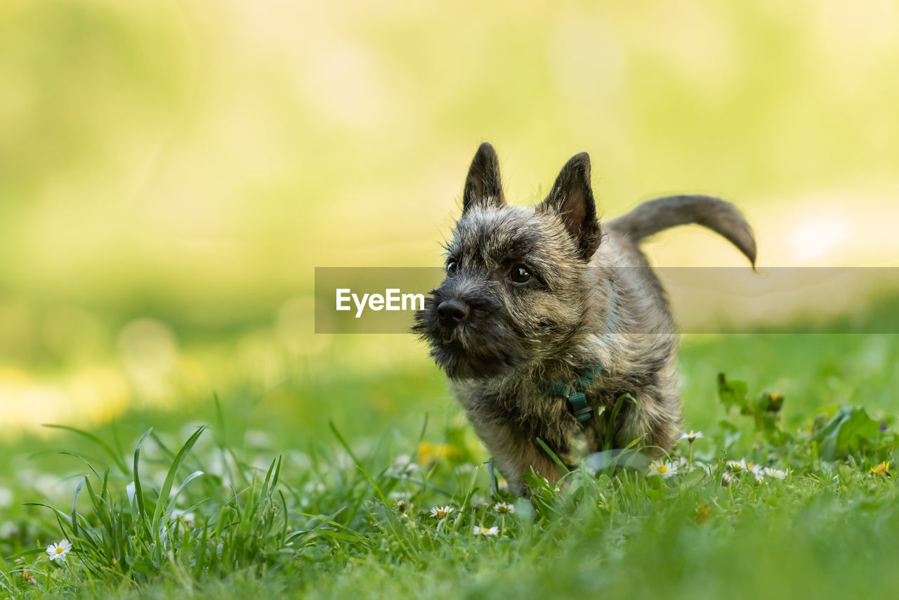 one animal, animal themes, domestic, pets, dog, canine, animal, domestic animals, mammal, plant, grass, selective focus, green color, vertebrate, field, nature, no people, day, land, running, small, animal head
