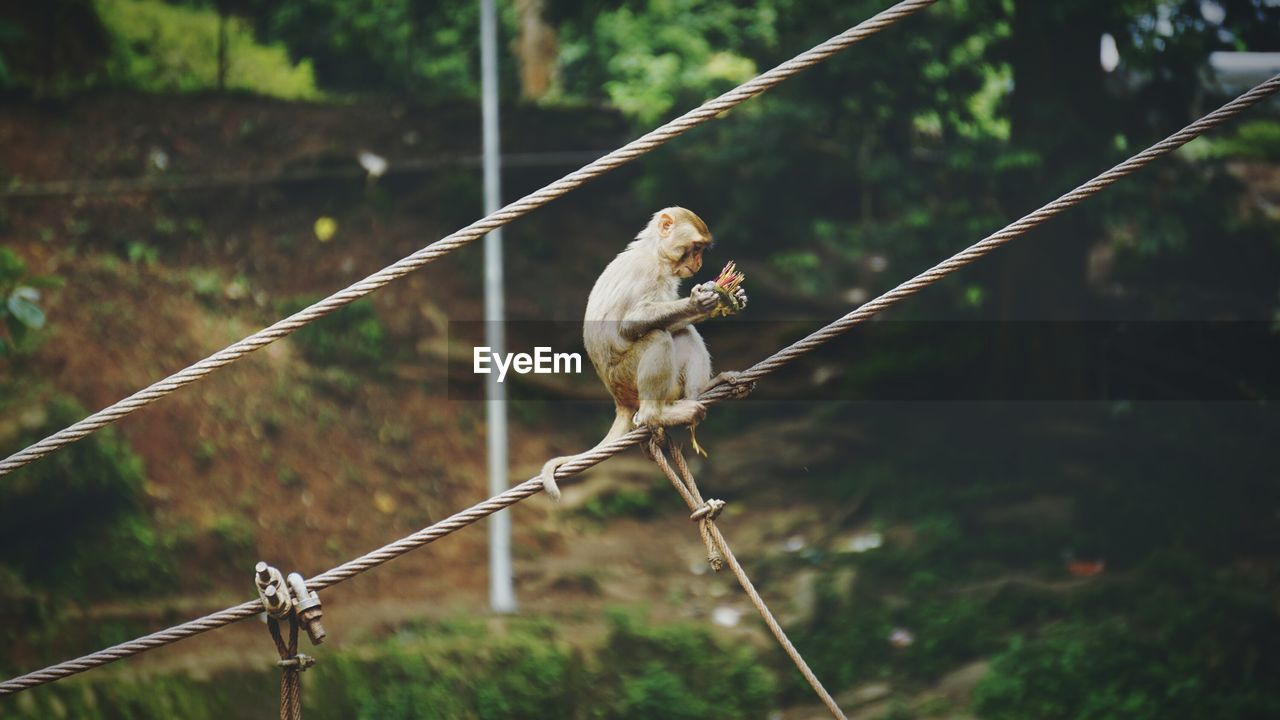 Side View Of A Monkey On A Wire