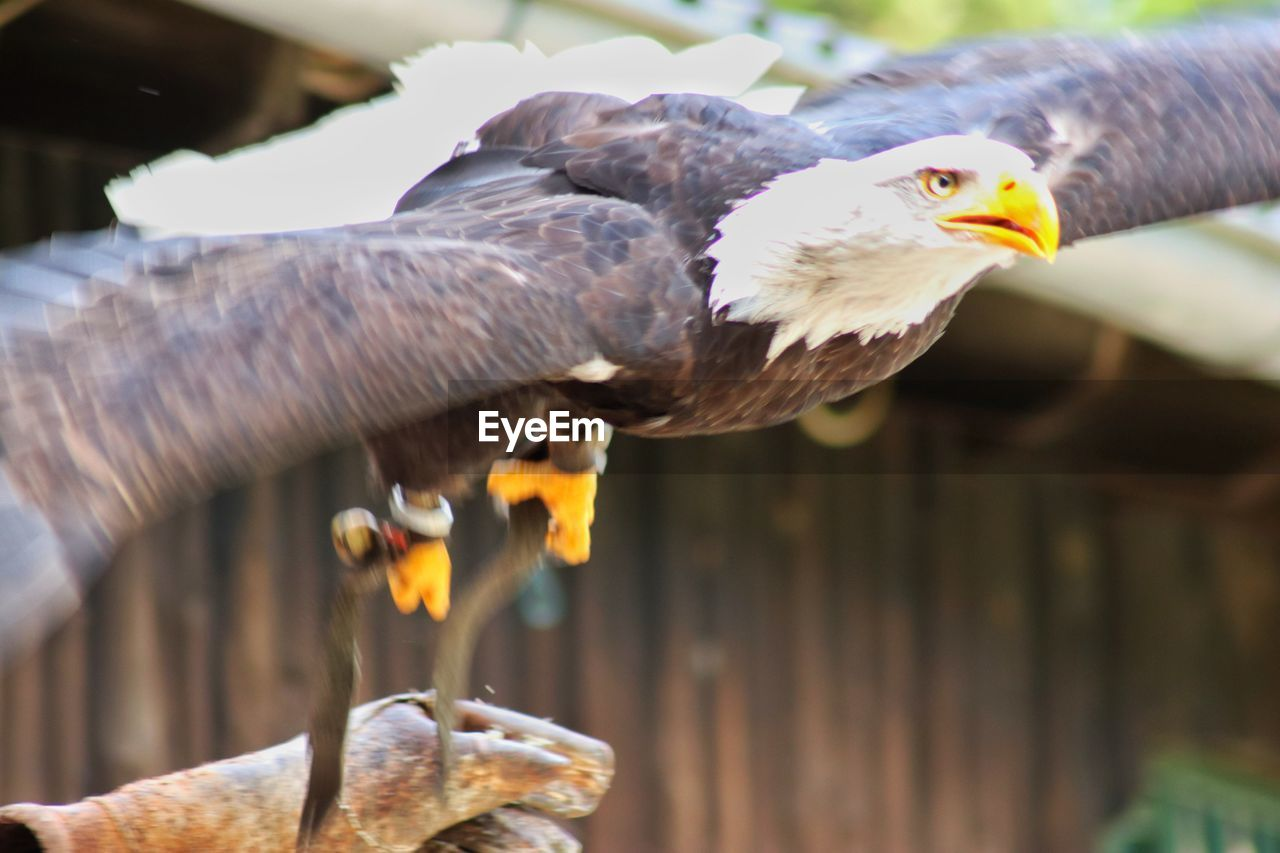 bird, vertebrate, animal, animal themes, animals in the wild, animal wildlife, focus on foreground, day, bird of prey, one animal, spread wings, flying, no people, close-up, nature, outdoors, wood - material, eagle, mouth open