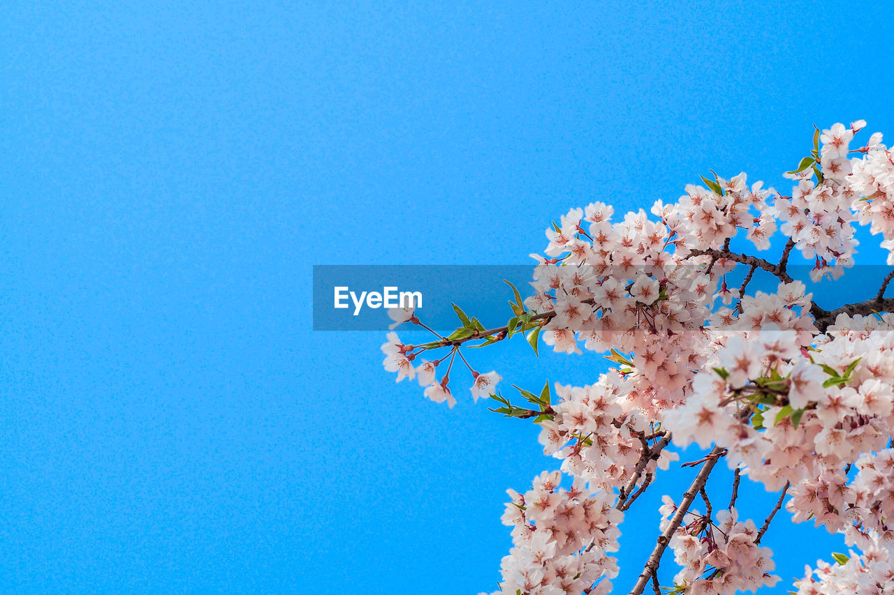 flower, sky, flowering plant, blue, low angle view, plant, growth, fragility, nature, beauty in nature, clear sky, copy space, tree, springtime, vulnerability, blossom, branch, freshness, day, pink color, cherry blossom, no people, outdoors, cherry tree, flower head, bunch of flowers, spring
