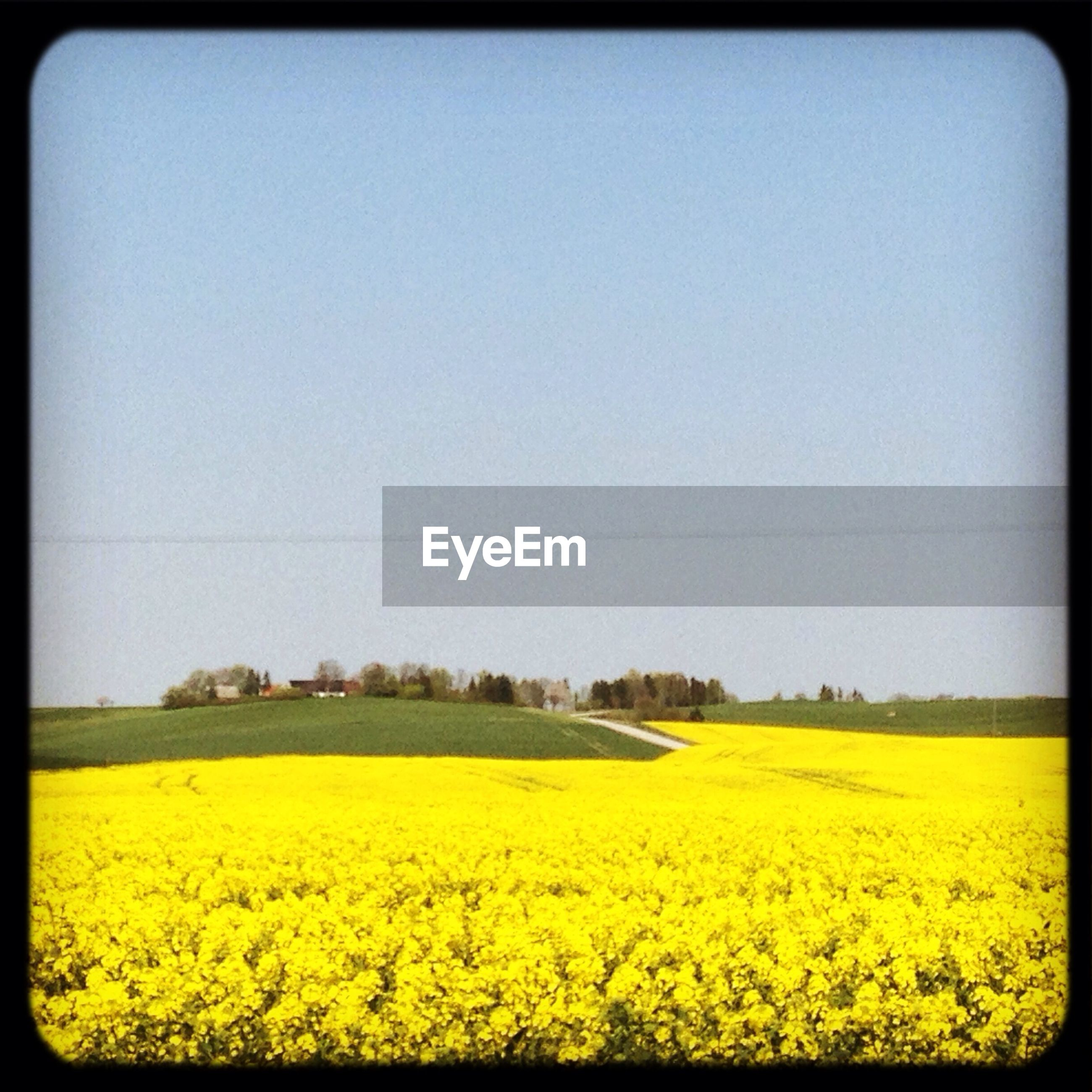 yellow, clear sky, flower, copy space, field, beauty in nature, growth, agriculture, nature, rural scene, landscape, tranquil scene, tranquility, transfer print, scenics, freshness, tree, plant, outdoors, farm