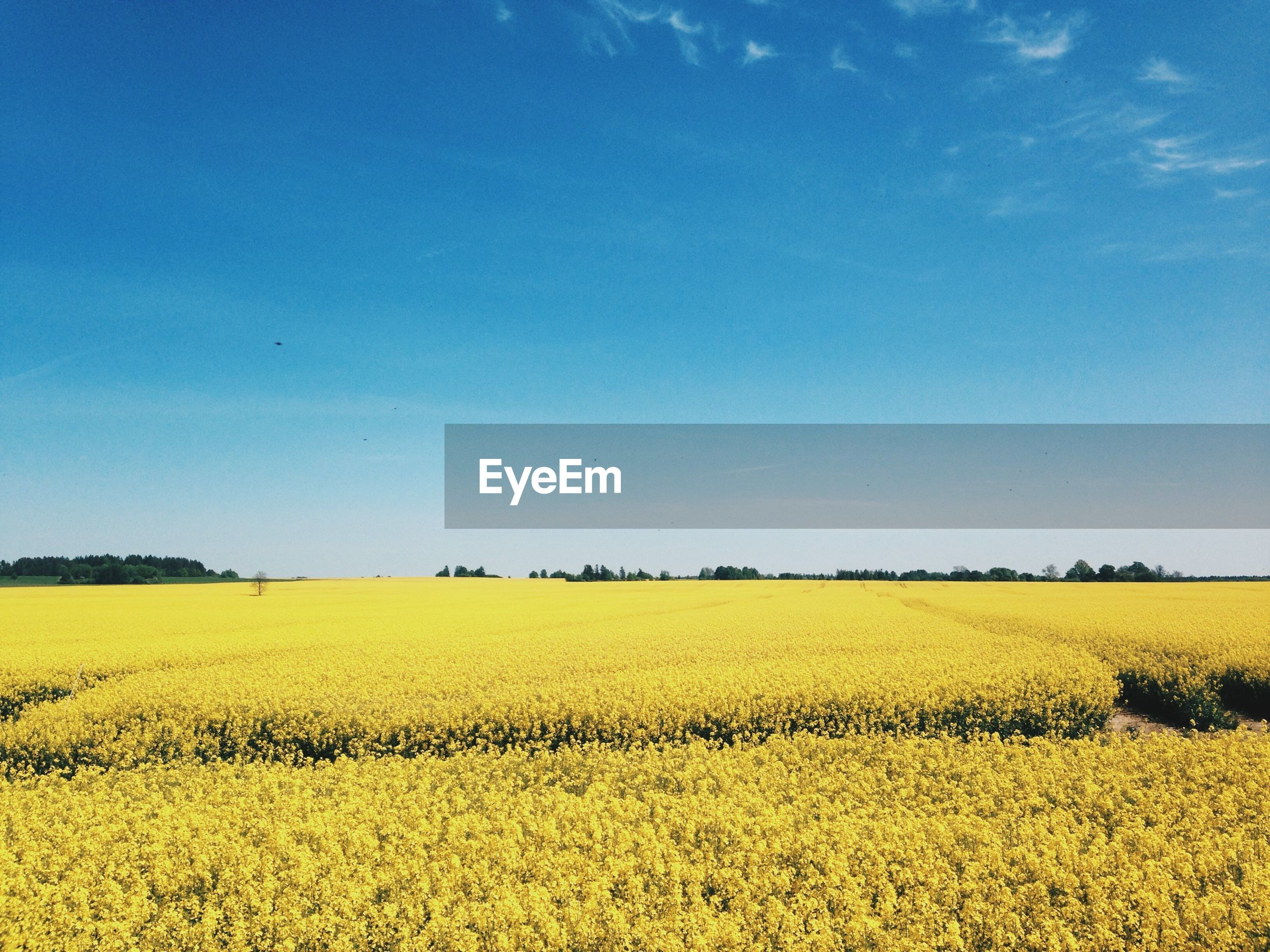 SCENIC VIEW OF YELLOW FIELD AGAINST CLEAR BLUE SKY