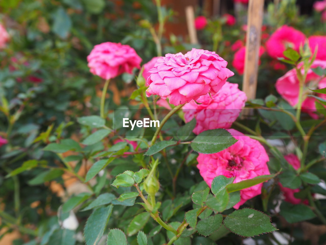 growth, pink color, nature, beauty in nature, petal, flower, fragility, plant, leaf, freshness, blooming, flower head, day, no people, green color, outdoors, close-up, periwinkle