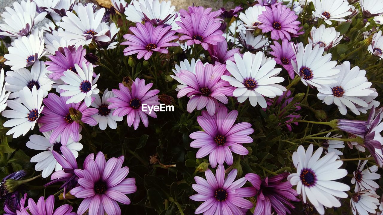 flower, petal, fragility, beauty in nature, nature, plant, growth, flower head, high angle view, freshness, purple, no people, outdoors, blooming, osteospermum, day, close-up