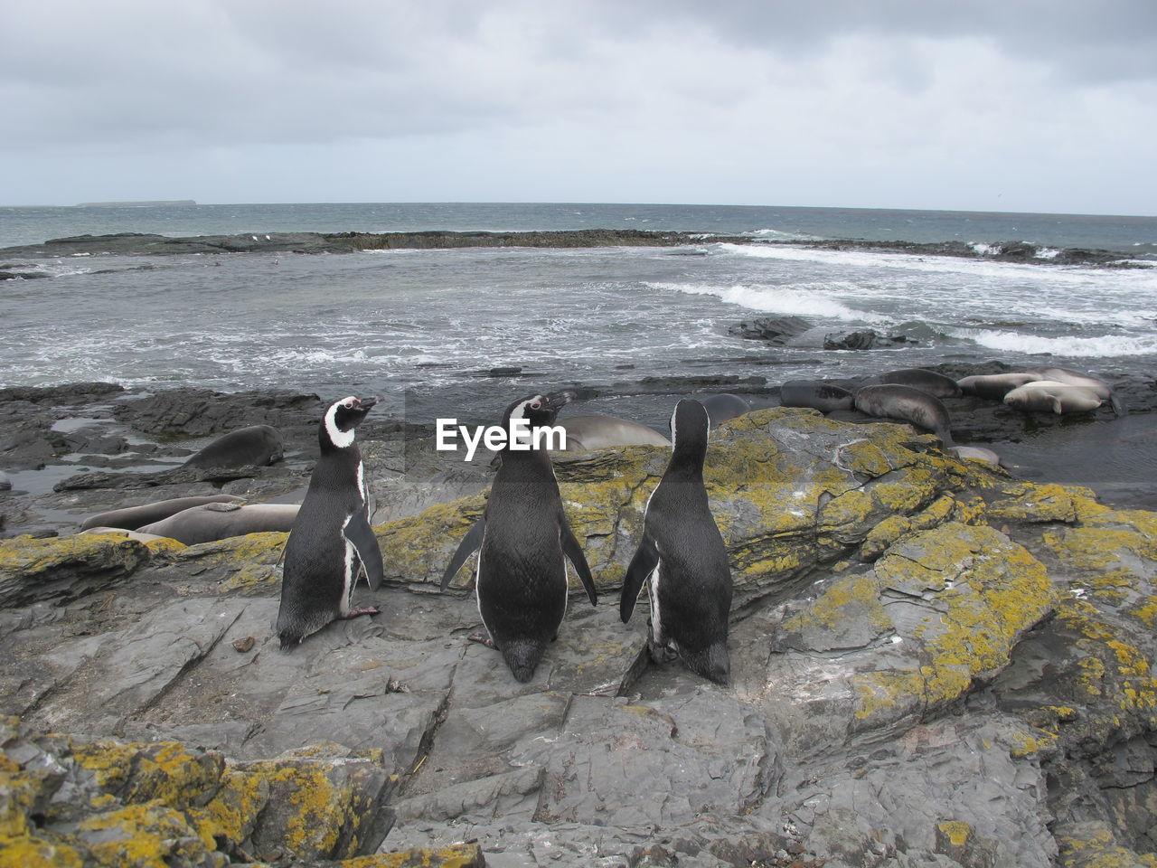 Three magellanic penguins on beach against sky