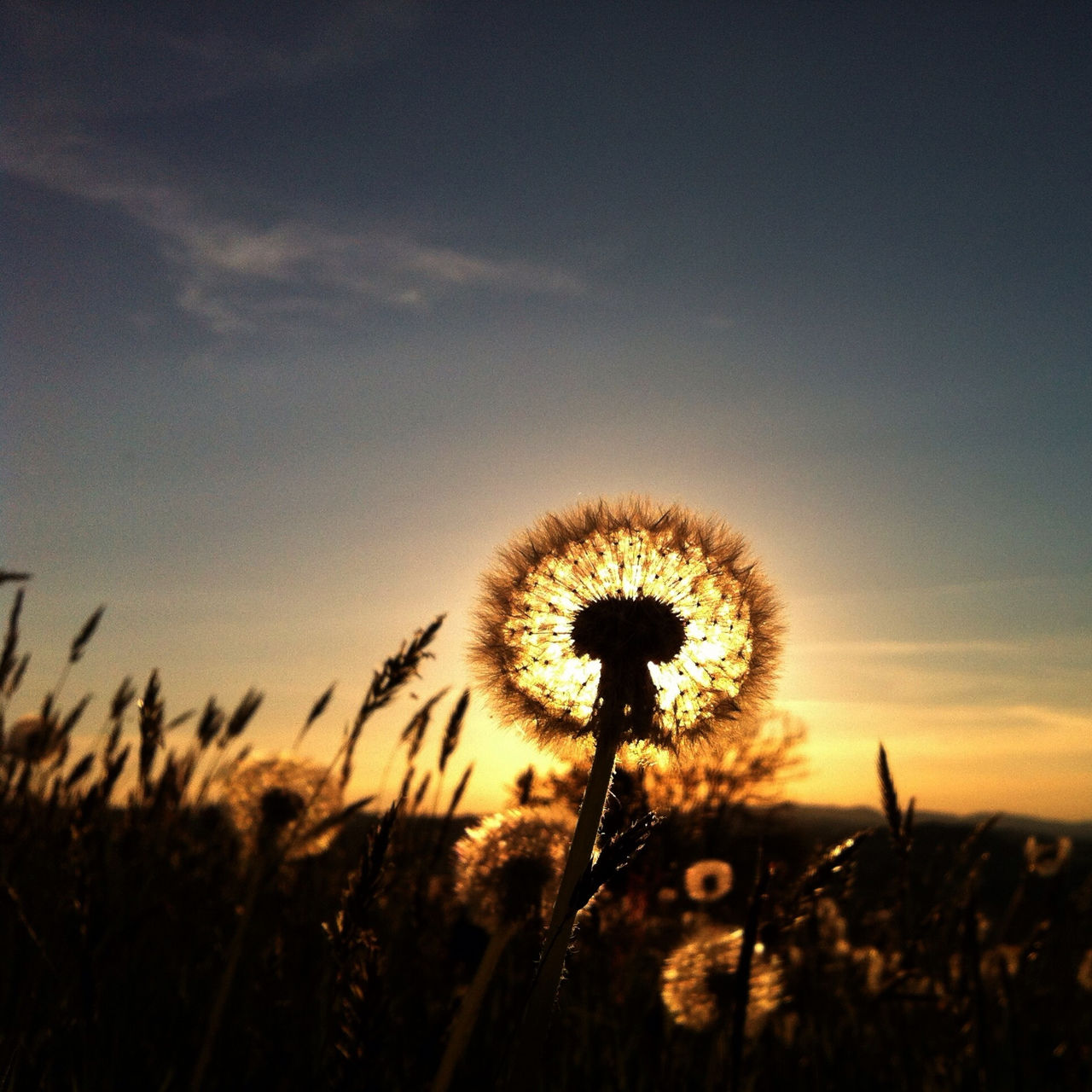 Dandelion blooming on field at sunset