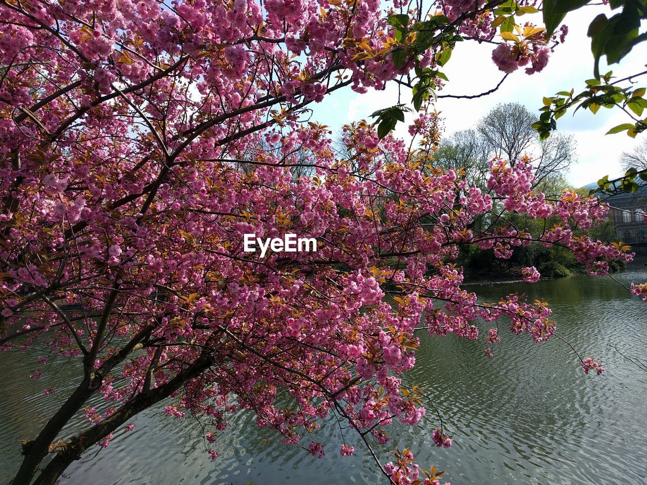 flower, tree, blossom, growth, cherry blossom, beauty in nature, cherry tree, branch, springtime, nature, pink color, fragility, freshness, botany, spring, pink, rhododendron, no people, apple blossom, orchard, lake, blooming, tranquility, outdoors, plum blossom, scenics, day, sky