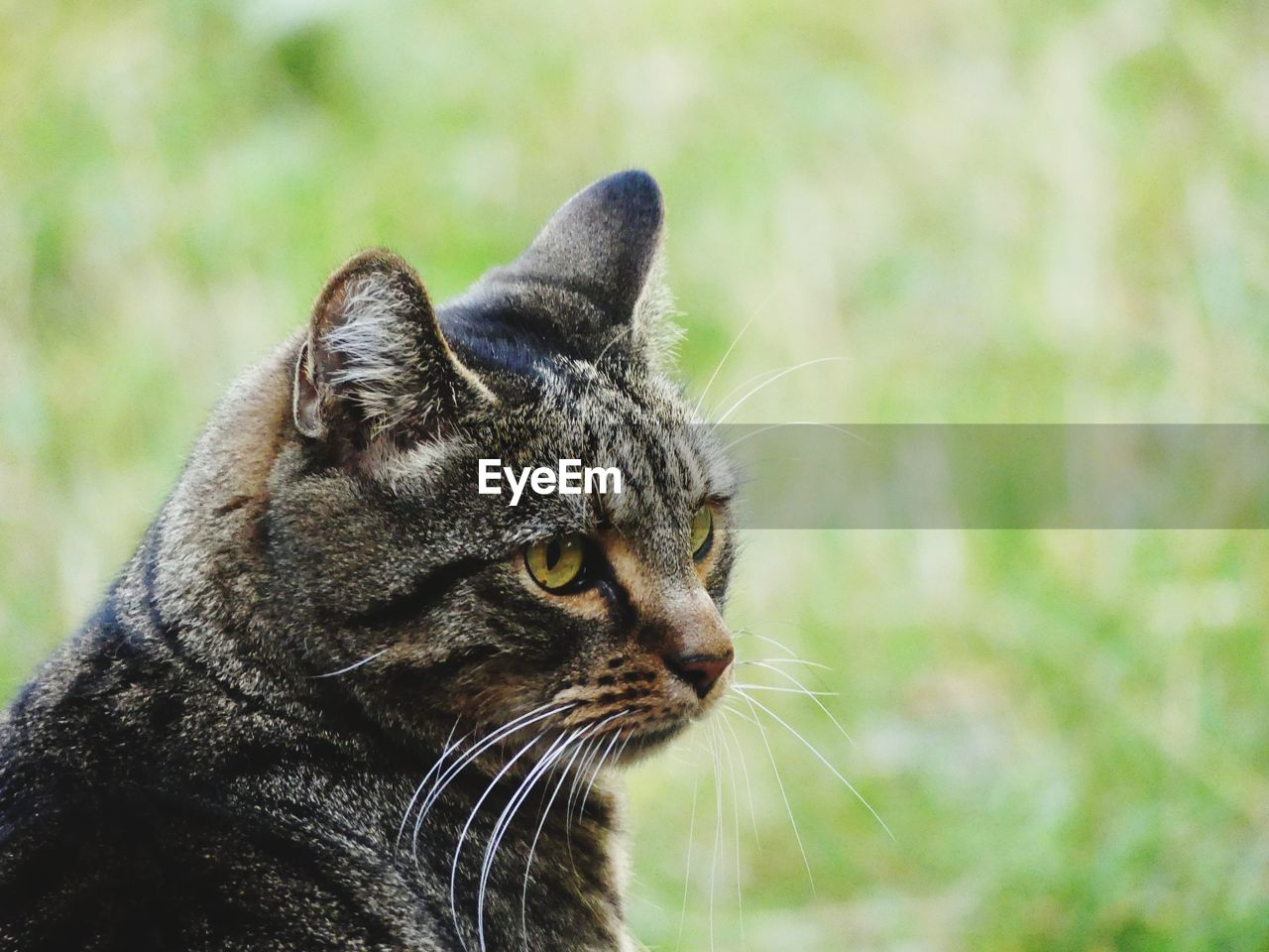 one animal, animal themes, animal, mammal, domestic animals, cat, pets, feline, domestic, vertebrate, domestic cat, looking, focus on foreground, whisker, looking away, no people, close-up, day, animal body part, nature, animal head, tabby, animal eye, profile view